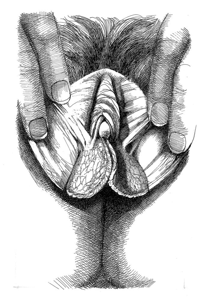 Vulva_7